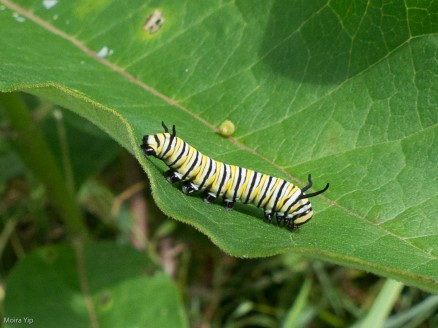 Monarch butterfky caterpillar on milkweed. The head is to the right. The thorax, to the right, has three pairs of true legs. The abdomen, at left, has 5 pairs of prolegs ending in tiny hooks which they use to hang on with.