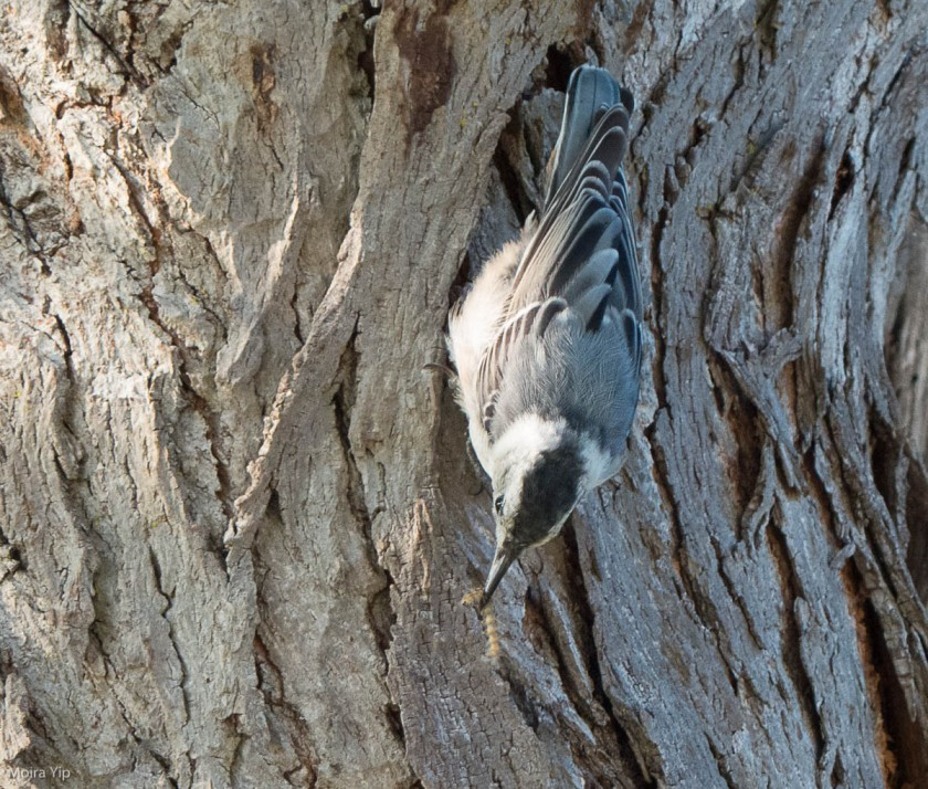Nuthatch with grub just extracted from tree bark