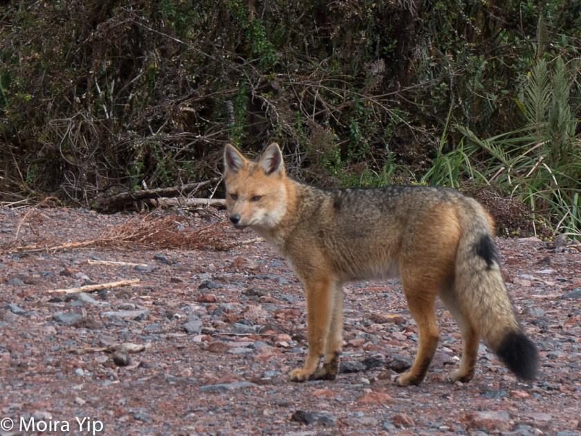 Fantastic Mr Fox Eyes On The Wild