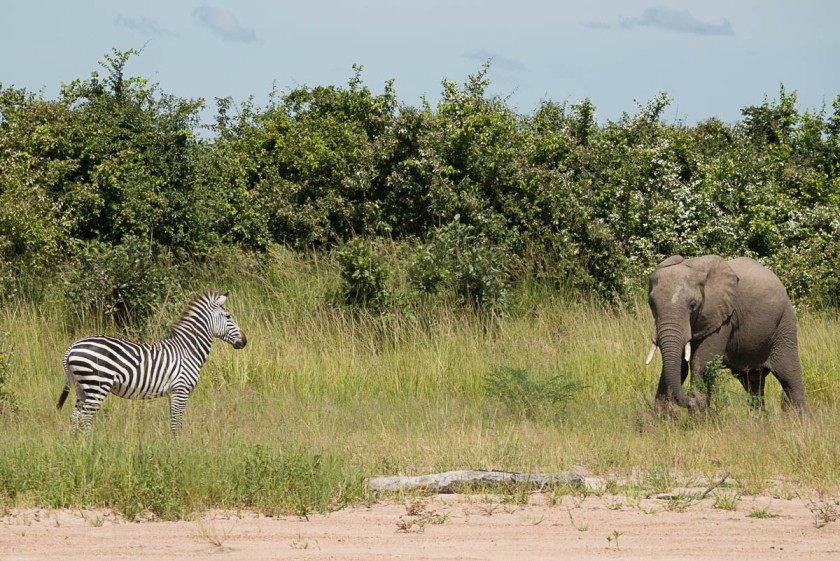Zebra meeting Elephant