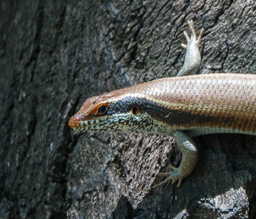 Variable or side-striped skink?