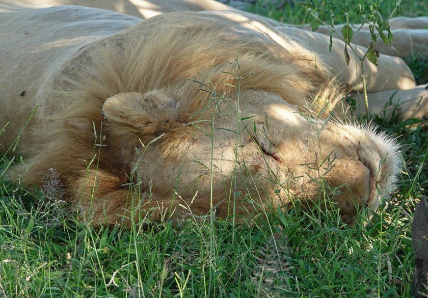 Ginger, a male lion who lacks pigment in his mane.
