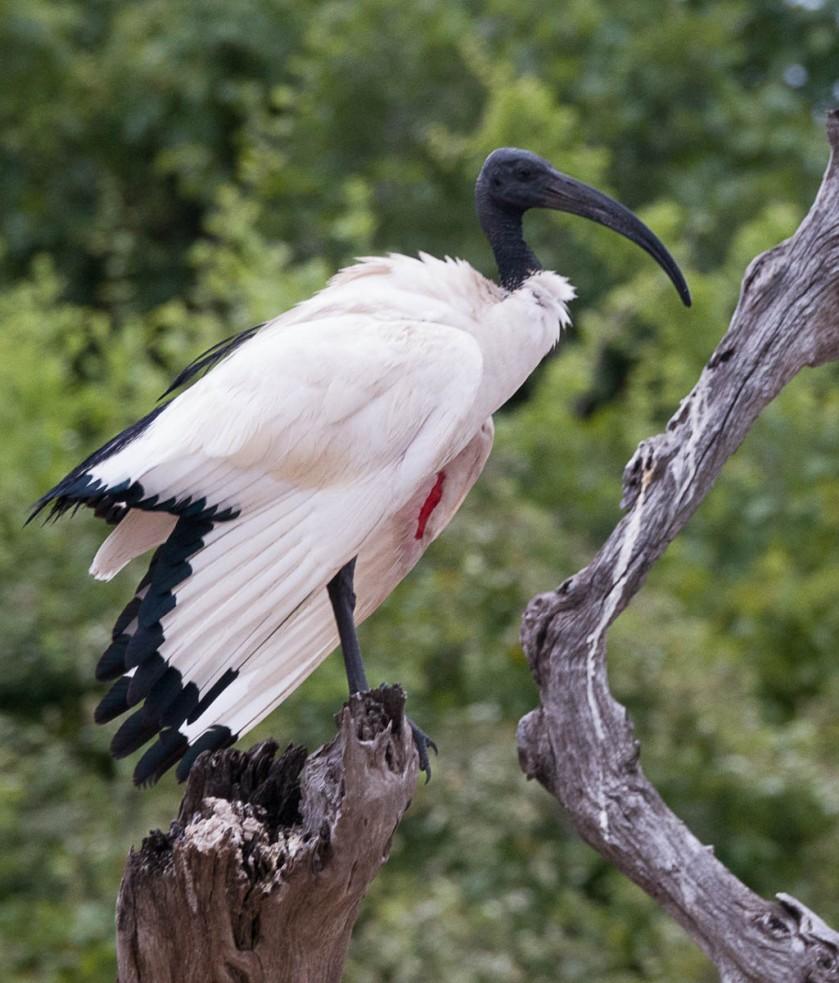 Sacred Ibis. In breeding season, naked skin on underwing turns red.