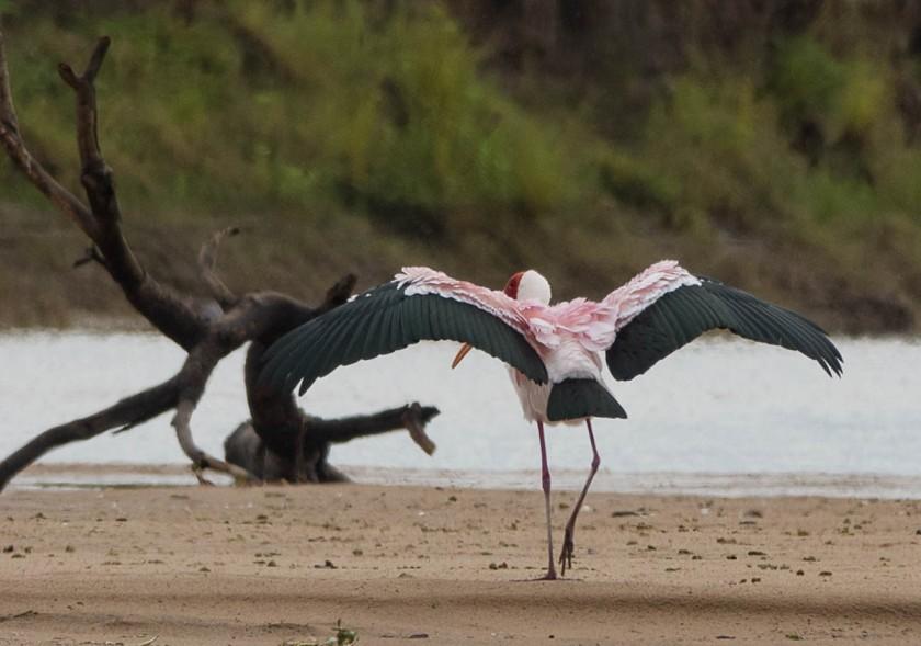 Yellow-billed Stork in breeding plumage