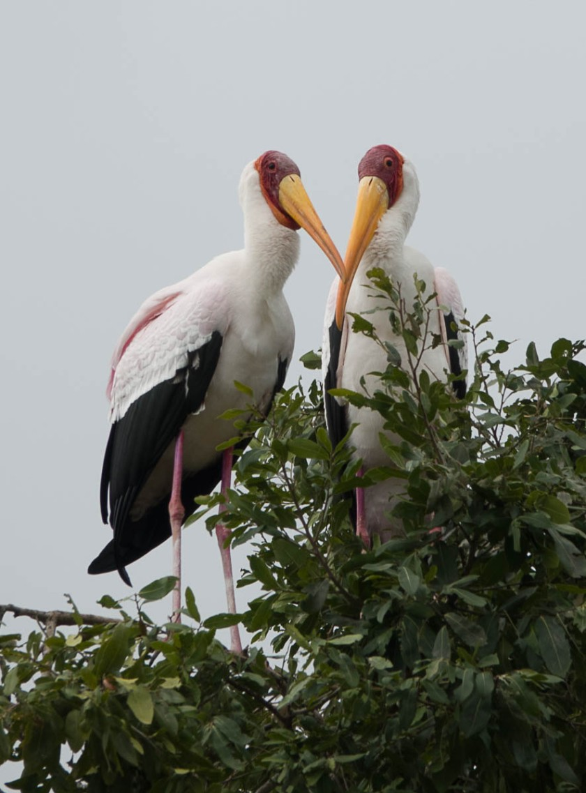 Yellow-billed stork breeding colony