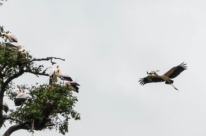 Yellow-billed stork breeding colony