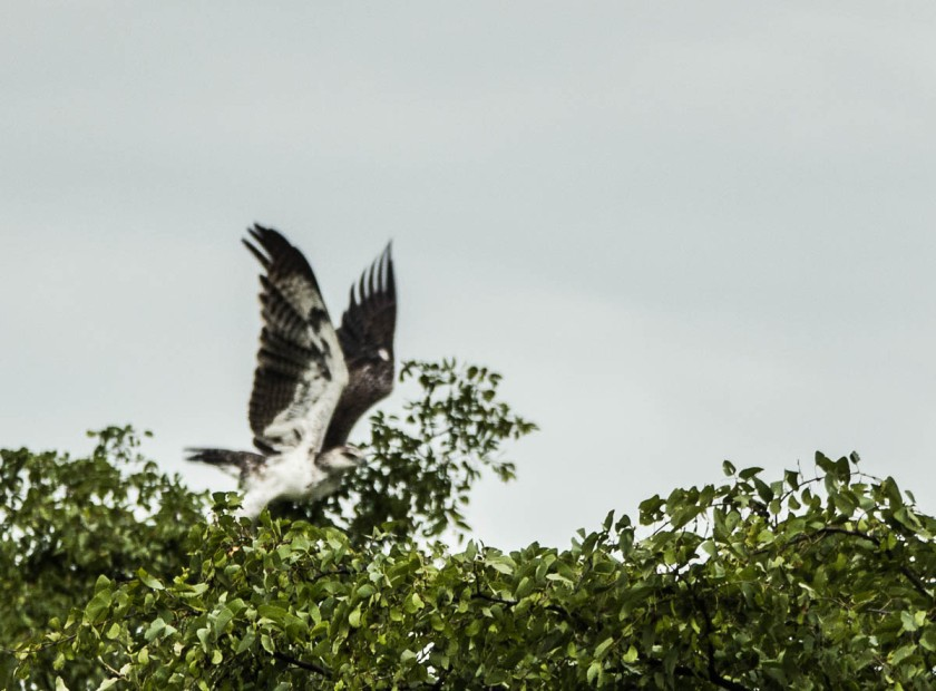 Martial eagle taking off