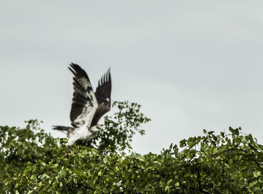 Martial eagle taking off