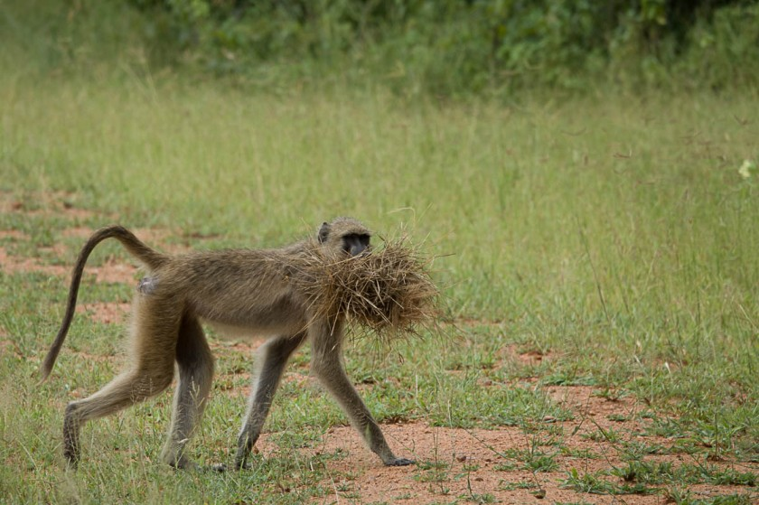 Baboon with white-browed weaver nest.