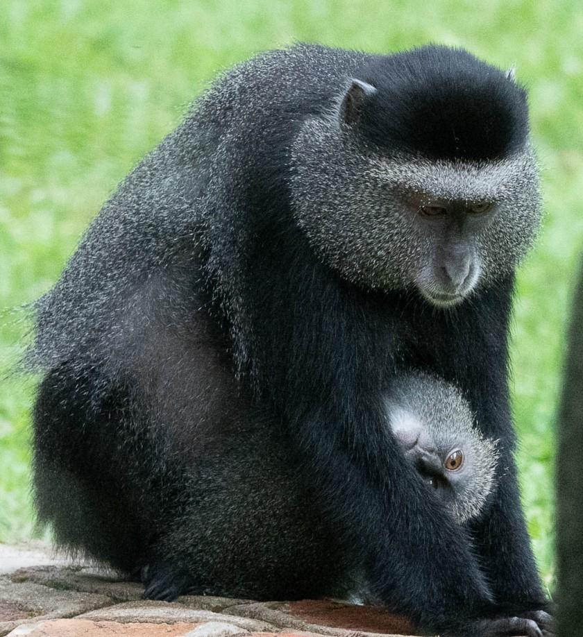 Blue monkey, Cercopithecus mitis
