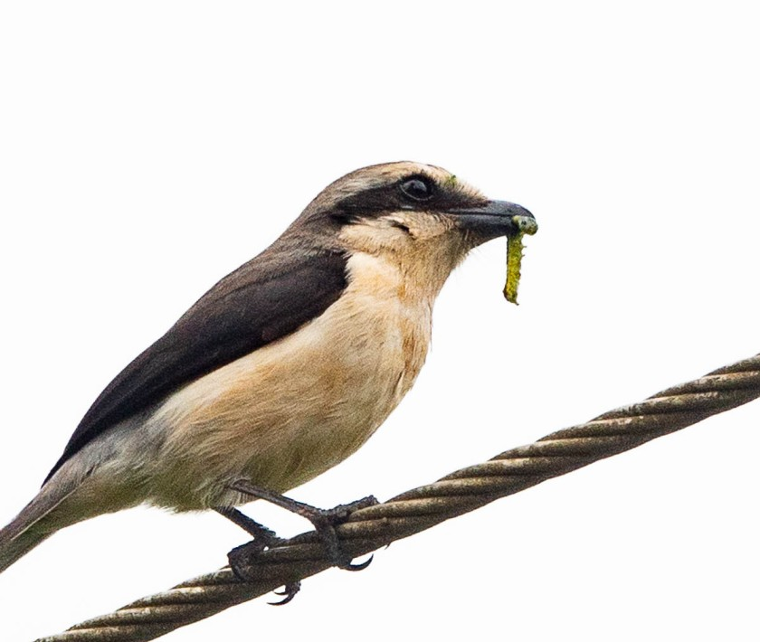 Mackinnon';s foscal shrike with caterpillar.