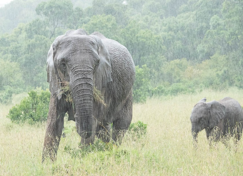 Very wet elephants