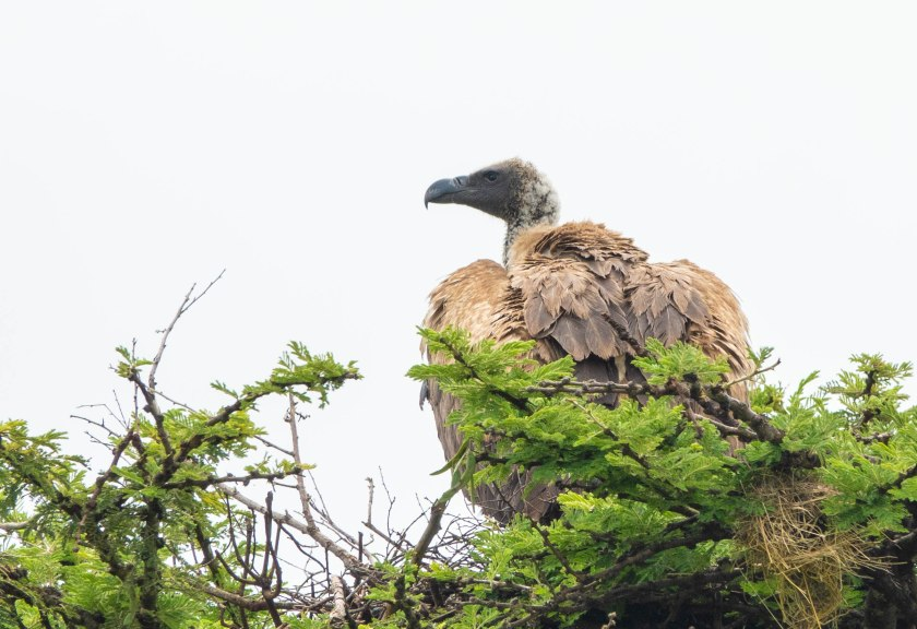 White-backed Vulture on nest