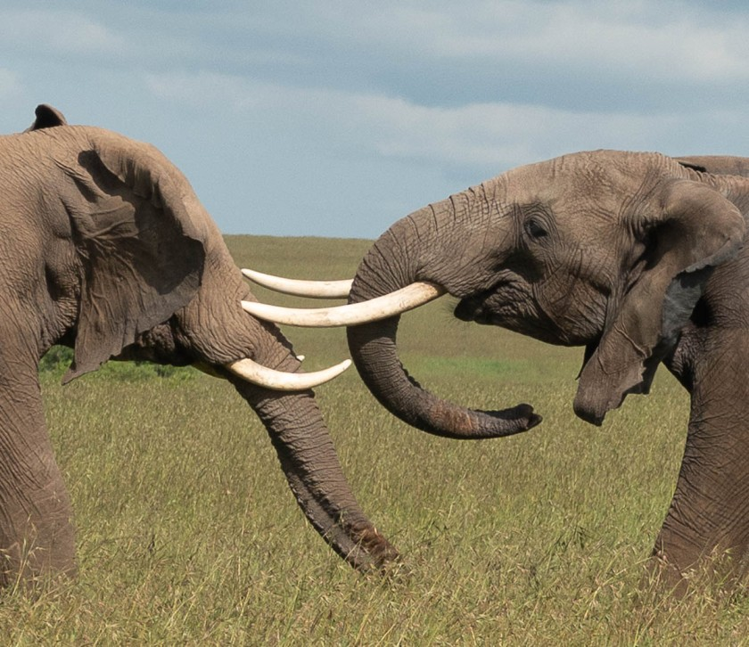 Male elephants jousting, for fun.