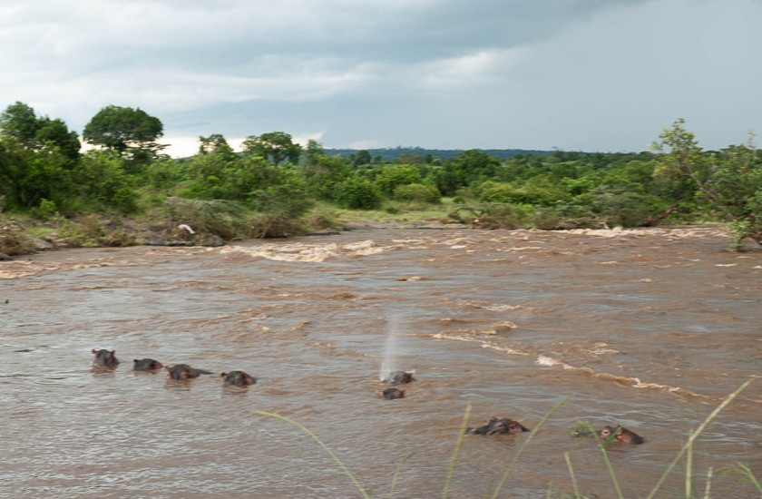 Mara river in flood, with hippos