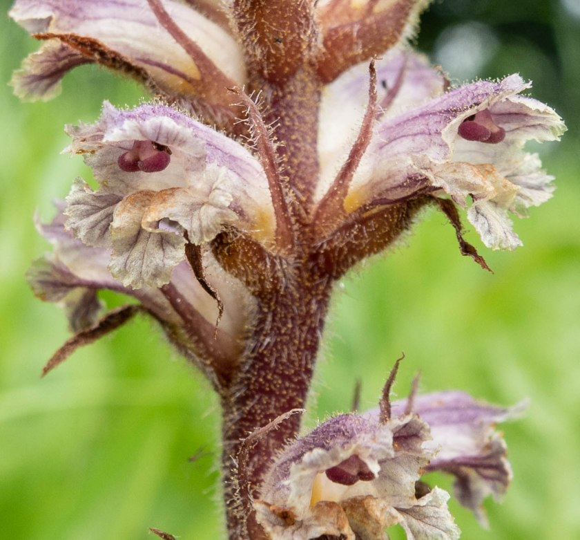 Common Broomrape