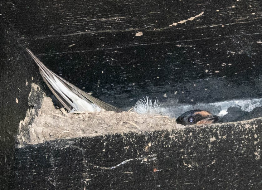 Swallow sirring on nest in the cloisters in Sherborne