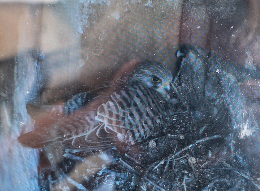 Kestrel on nest inside Sherborne church tower, from BBC moinitor