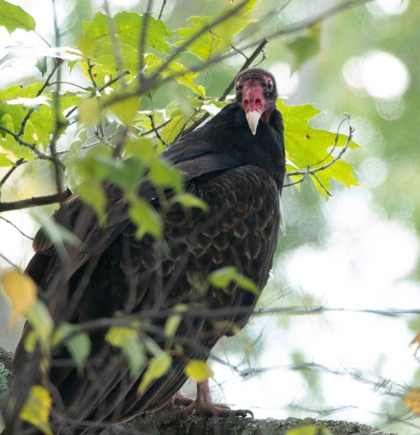 Adult turkey vulture