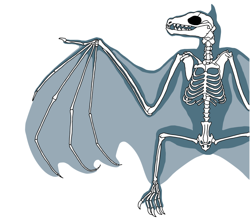 Bat-Skeleton-Diagram