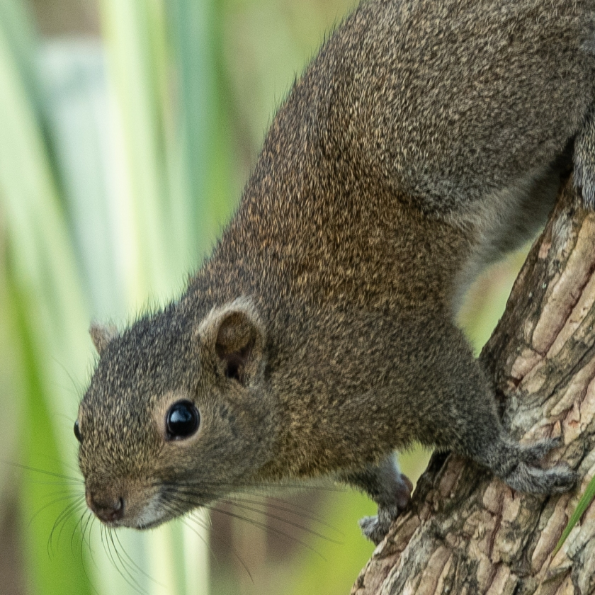 Hoary-bellied Squirrel