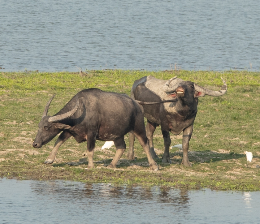 Wild water buffalo, scenting