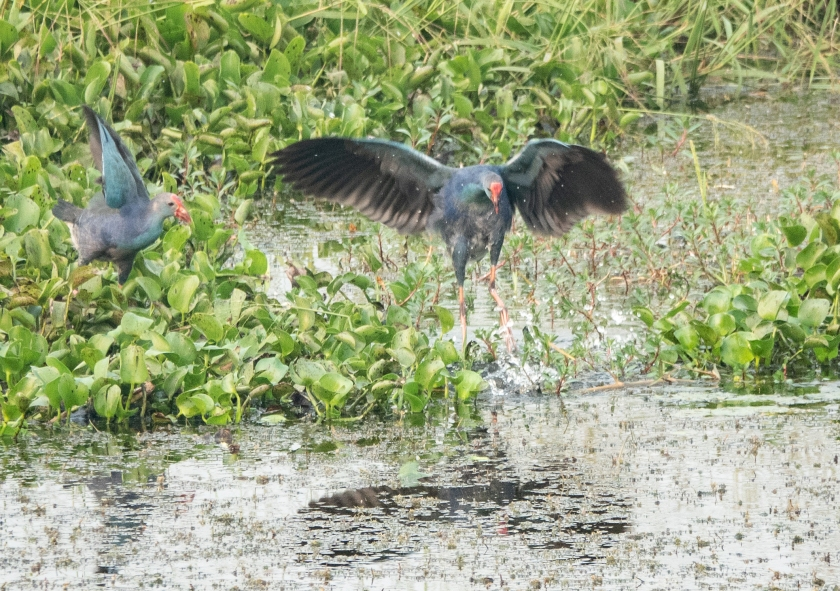Purple Swamphens, attacking cormorant