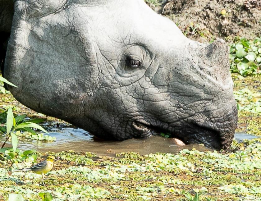 rhino, citrine wagtail