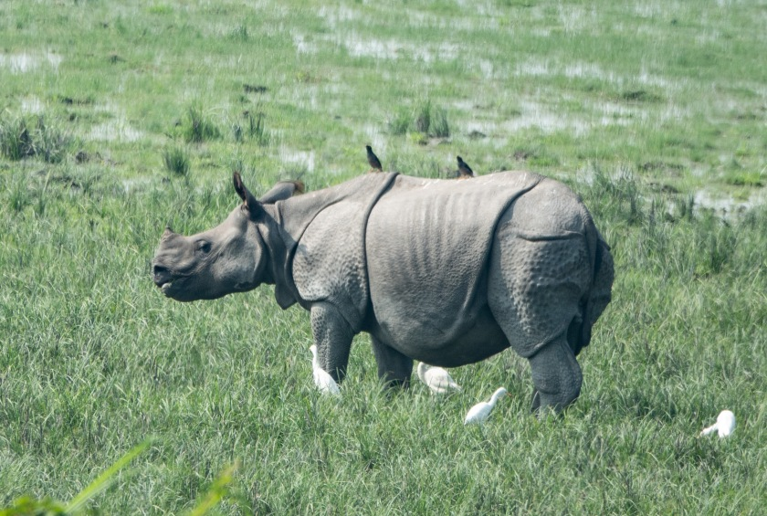 Indian one-horned Rhino