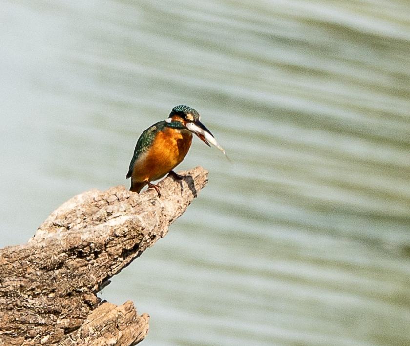 Bue-eared Kingfisher