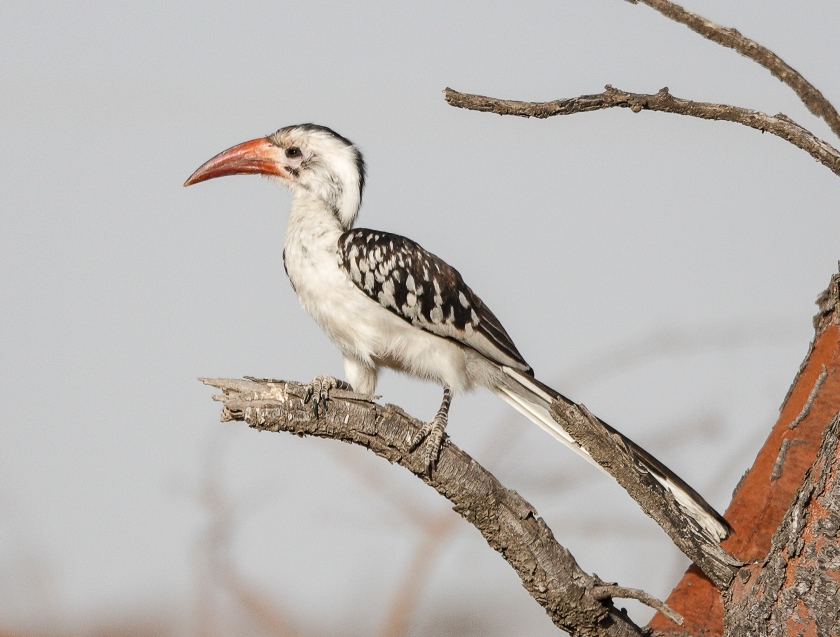 Northern Red-billed Hornbill, female