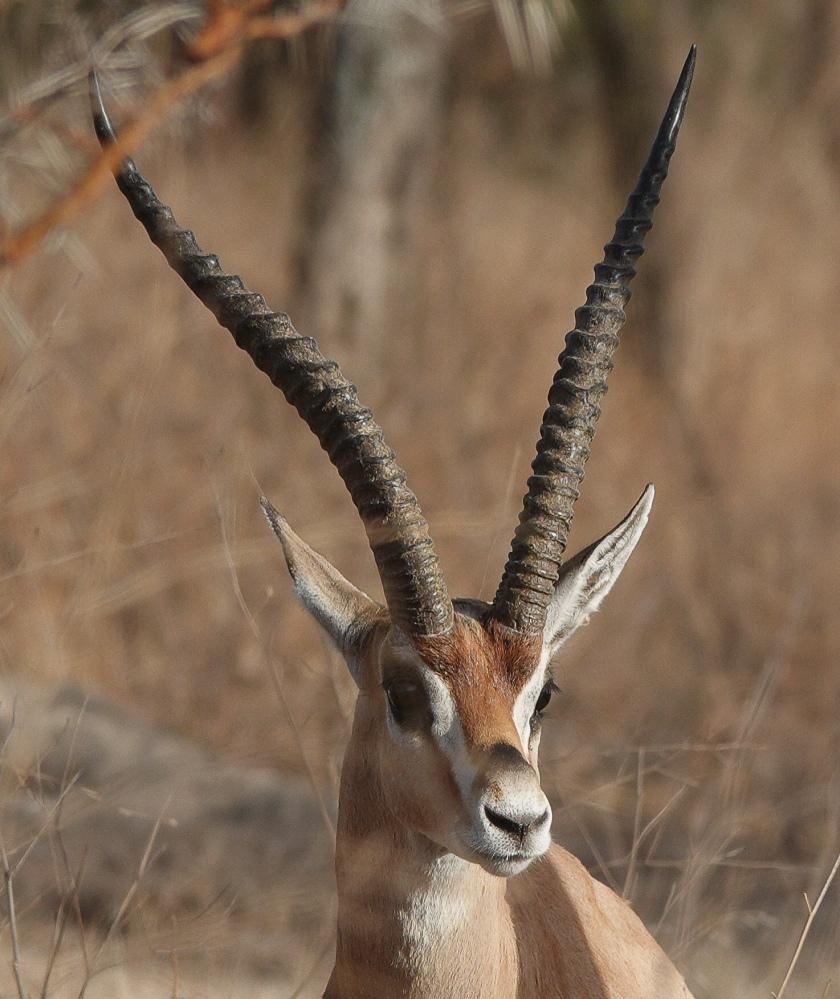 Bright's Gazelle