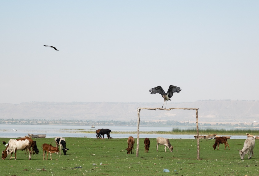 Marabou Stork. Goal.