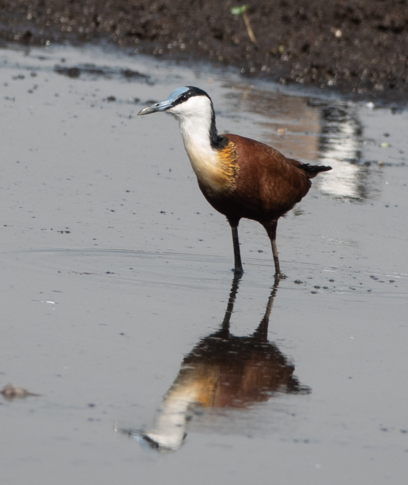 African Jacana, male