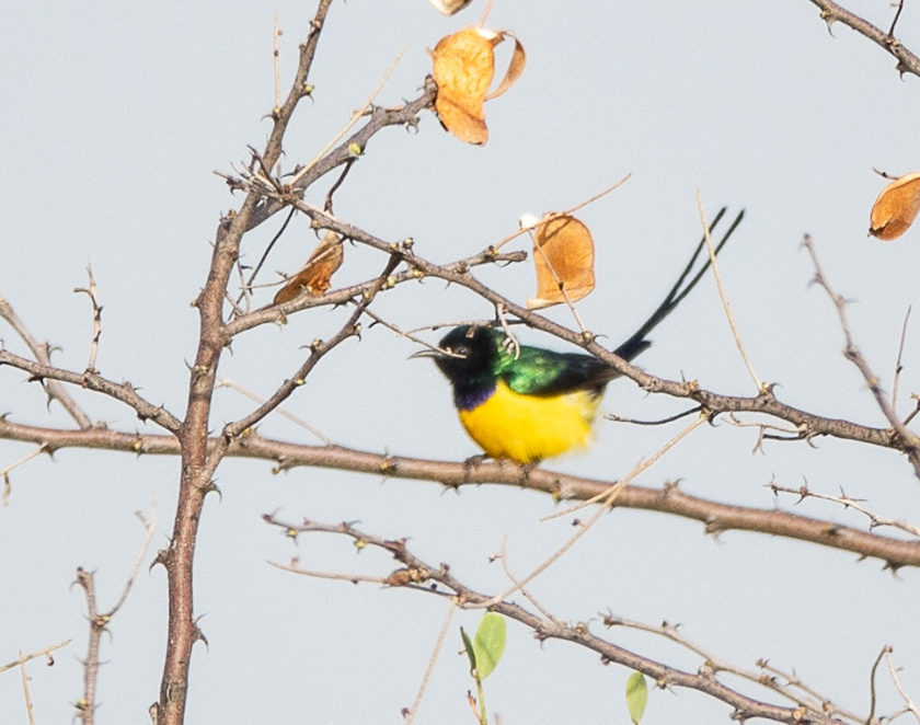Nile Valley Sunbird, male in full breeding plumage