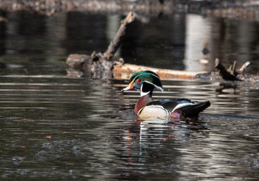 Male wood duck in breeding plumage