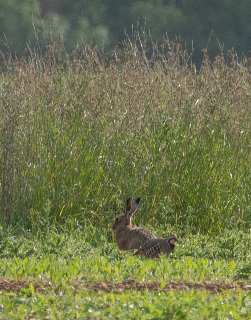 Hare with Red-legged Partridge
