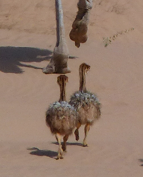 Male ostrich and chicks; female was also nearby.