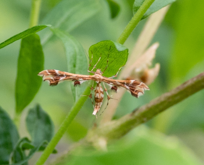Plume Moth, feeds on wild grapes