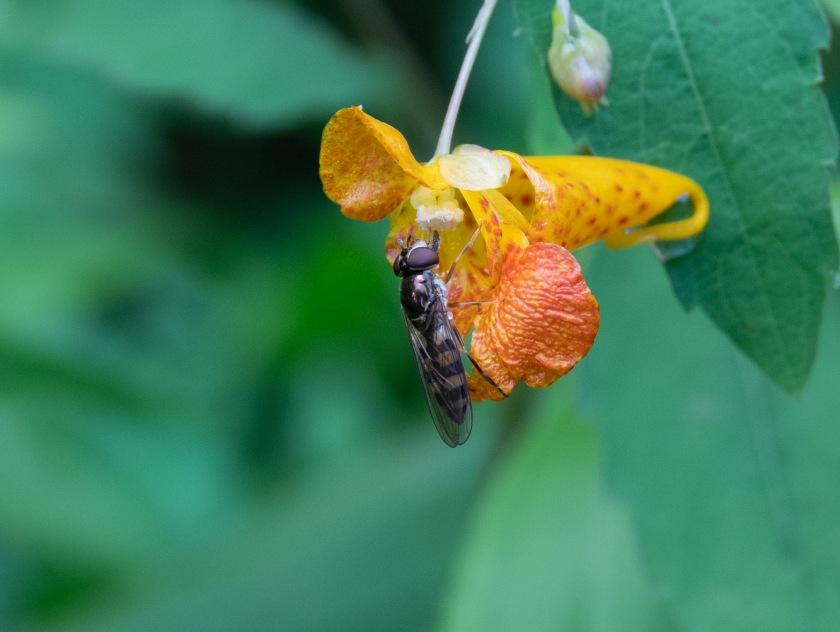 Spotted Touch-me-Not, or Jewelweed