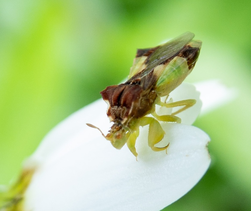 Jagged Ambush Bugs