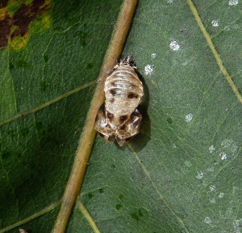 Harmonia axyridis, pupa