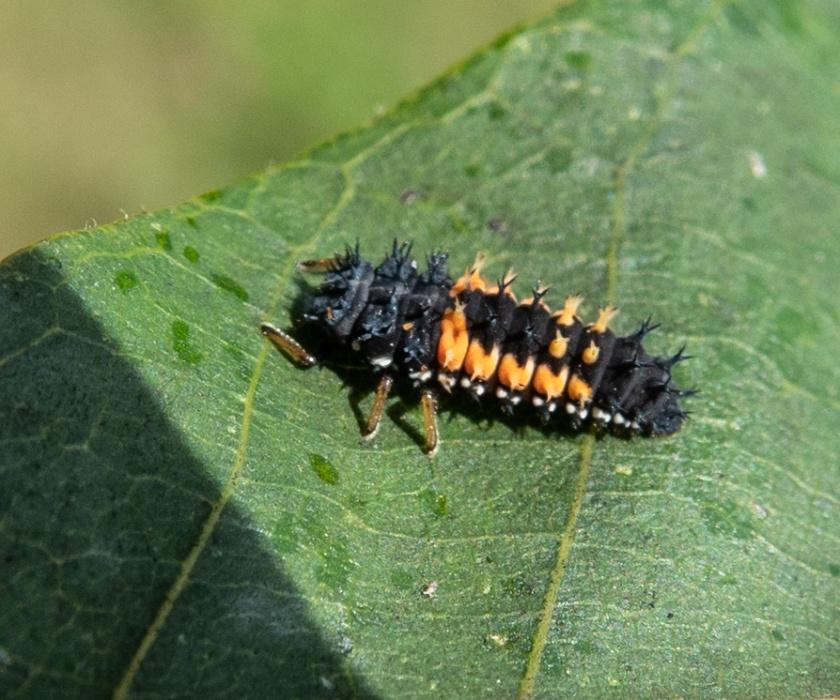 Harmonia axyridis, harlequin ladybird