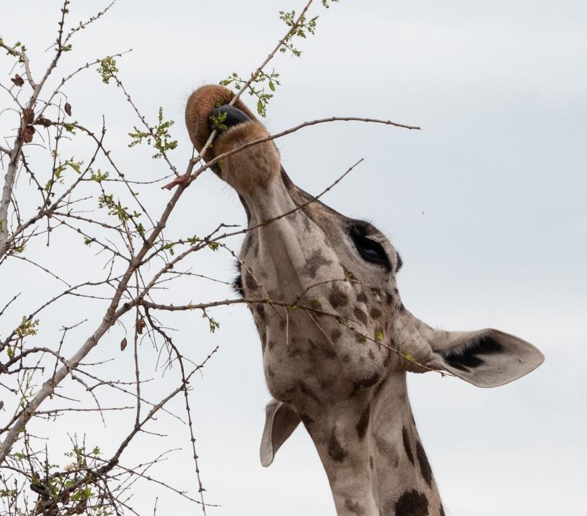 Maasai giraffe