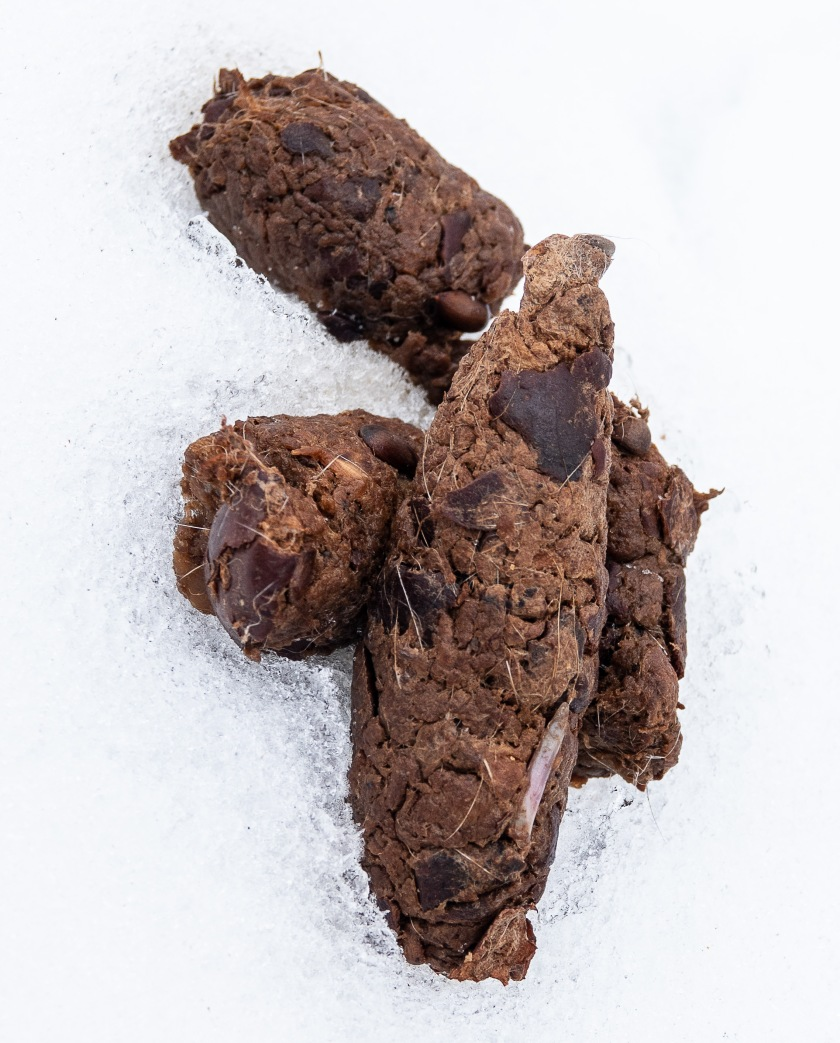 Coyote scat, with bone, hair and rotten apples