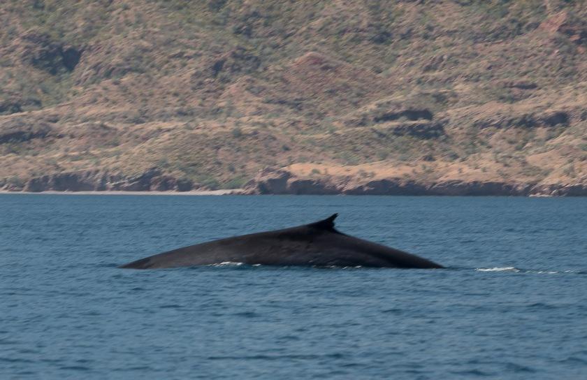Blue - fin whale hybrid?
