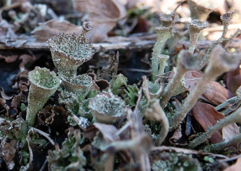Cladonia sp. lichen