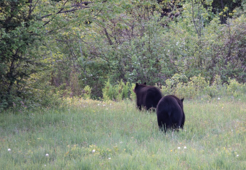 Blacl bears, mother and yearling