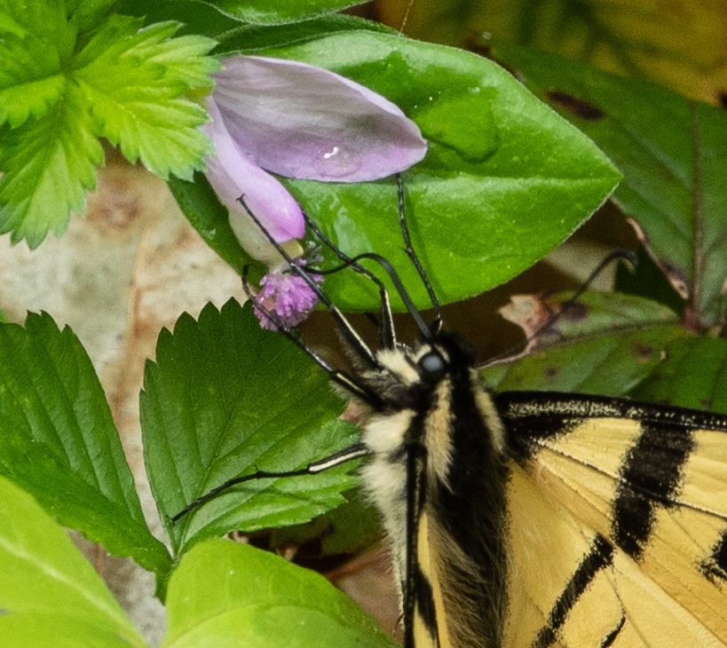 Eastern Swallowtail on Fringes Polygala