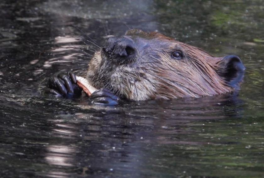 Beaver eating cattail root